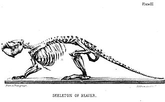 Beaver - A beaver skeleton