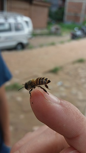 File:Bee20170820 075451.jpg