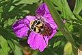 Bee beetle (Trichius fasciatus) Estonia.jpg