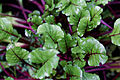 Beetroot Bettolo Capel Manor Enfield London England.jpg