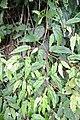 Begonia banaoensis 05.JPG