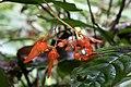 Begonia rossmanniae (Begoniaceae) (29814342722).jpg