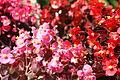 Begonia semperflorens 11.JPG