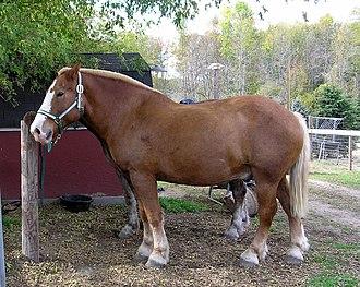 Belgian horse - Belgian draft horse