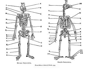 Evolutionary ideas of the Renaissance and Enlightenment - Pierre Belon compared the skeletons of birds and humans in his Book of Birds (1555).