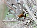 Belted Flycatcher (Xenotriccus callizonus) (5783239031).jpg