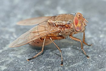 Bengalia species blow-fly