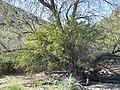 Berberis harrisoniana 001.jpg