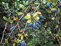 Berberis hispanica ArboretumLaAlfaguara.jpg
