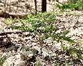 Berberis thunbergii in Pennwood State Park - 2.jpg