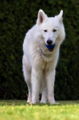 Berger Blanc Suisse6.png