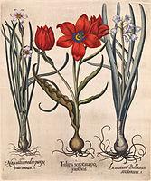 Besler H.E. tulipa 3.jpg