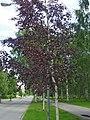 Betula pubescens f. rubra 3.jpg