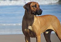 Big rhodesian male IMG 6830.JPG