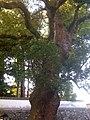 Big tree - panoramio (1).jpg