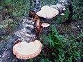 Birch Polypore, a bracket fungus - geograph.org.uk - 1099701.jpg