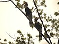 Bird Great Hornbill Buceros bicornis pair 02.jpg