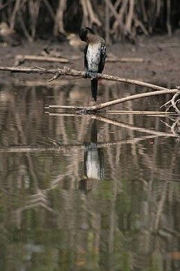 Bird in Gambia 0003
