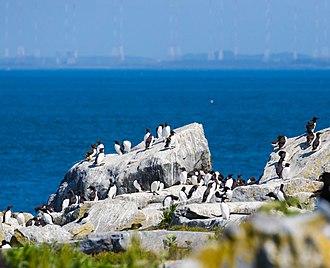 Machias Seal Island - Seabirds on the rocky island