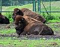 Bison bison - Serengeti-Park Hodenhagen 01.jpg