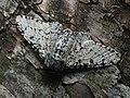 Biston betularia - Peppered moth - Пяденица берёзовая (42781639061).jpg