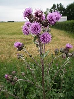 Blühende Distel bloeiende akkerdistel een drachtplant voor honingbijen, hommels en vlinders insectenlokker bloem