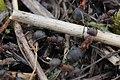 Black-backed Meadow Ant - Formica pratensis (26025113801).jpg