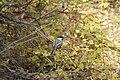 Black-capped Chickadee Poecile atricapillus.jpg