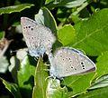 Black-eyed Blue. Glaucopsyche melanops mating - Flickr - gailhampshire.jpg