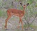 Black-faced impala (Aepyceros melampus petersi) female.jpg