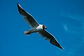 Black-headed Gull (2).jpg