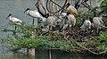 Black-headed Ibis (Threskiornis melanocephalus) at nest P W IMG 2883.jpg