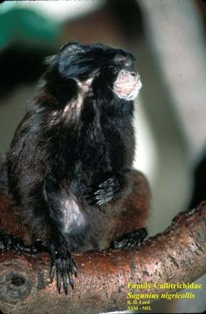 alt=Description de l'image Black-mantled Tamarin.jpg.