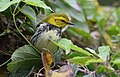 Black-throated Green Warbler (29473978563).jpg