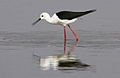 Black-winged Stilt, Common Stilt, or Pied Stilt, Himantopus himantopus at Borakalalo National Park, South Africa (9937656396).jpg