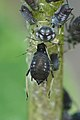 Black Bean Aphid (Aphis fabae) - Guelph, Ontario.jpg