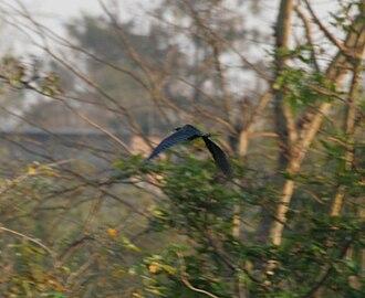 Black bittern - Image: Black Bittern (Dupetor flavicollis) in Kinnarsani WS, AP W IMG 6114