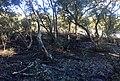 Black Mangrove (Aegiceras corniculatum).jpg