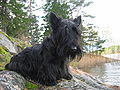Black Scottish Terrier.jpg