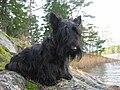 Black Scottish Terrier.jpg