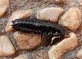 Black carabid larva, Nesher.jpg