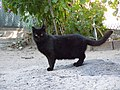 Black cat from Moldovanka.jpg