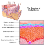 Illustration of epidermal layers