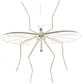 Blepharicera fasciata adult as limbipennis in Macquart 1843.png