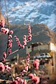 Blossom flowers and Baltit Fort.jpg
