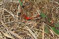 Blue-faced Meadowhawk - Sympetrum ambiguum, Colchester Park, Mason Neck, Virginia - 22842619098.jpg