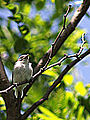 Blue Gray Gnatcatcher-Juvenile (9093422117).jpg
