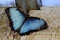 Blue Morpho (6750616051).jpg