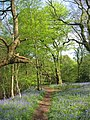 Bluebell view along path at Parrot's Drumble - geograph.org.uk - 793885.jpg