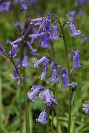 Hyacinthoides non-scripta - H. non-scripta has dark flowers in one-sided, nodding racemes, with strongly recurved petals and white pollen.